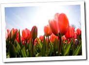 ottawa_spring_tulips